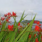Dingle peninsula with flowers